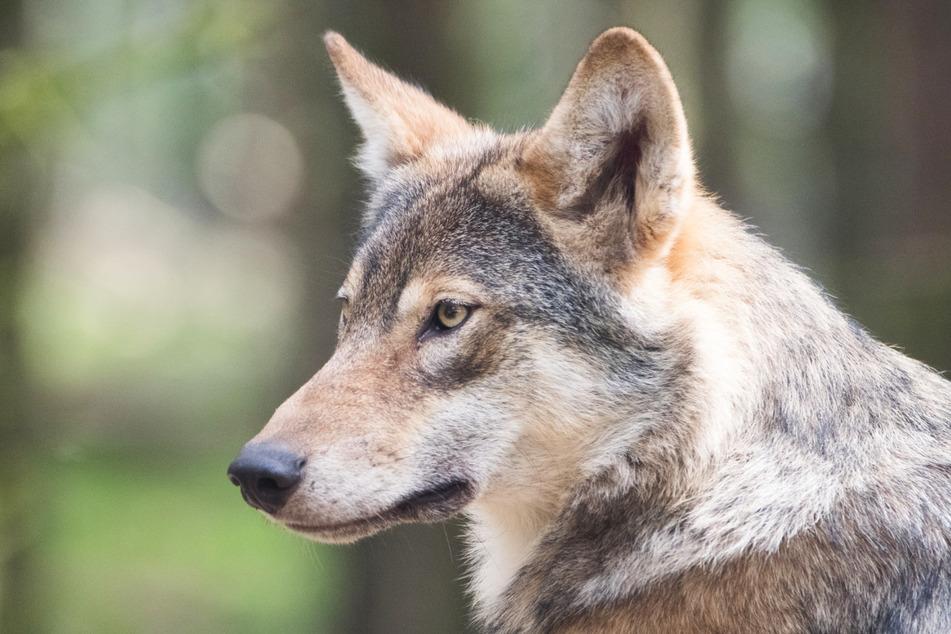 Vermutlich war der Wolf auf Wanderschaft. (Symbolbild)