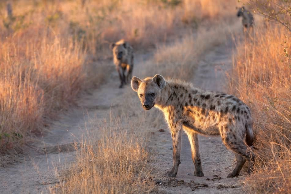 Schon im Frühling 2021 sollen die Hyänen im Tierpark Chemnitz ankommen.