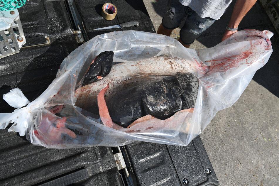 Ein toter Schweinswal liegt auf dem Gelände des Meeresmuseums Stralsund.
