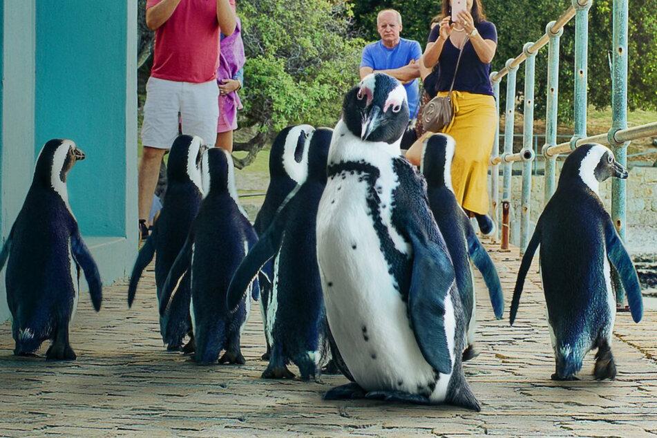 Diese Pinguine sorgen für mächtig gute Laune.