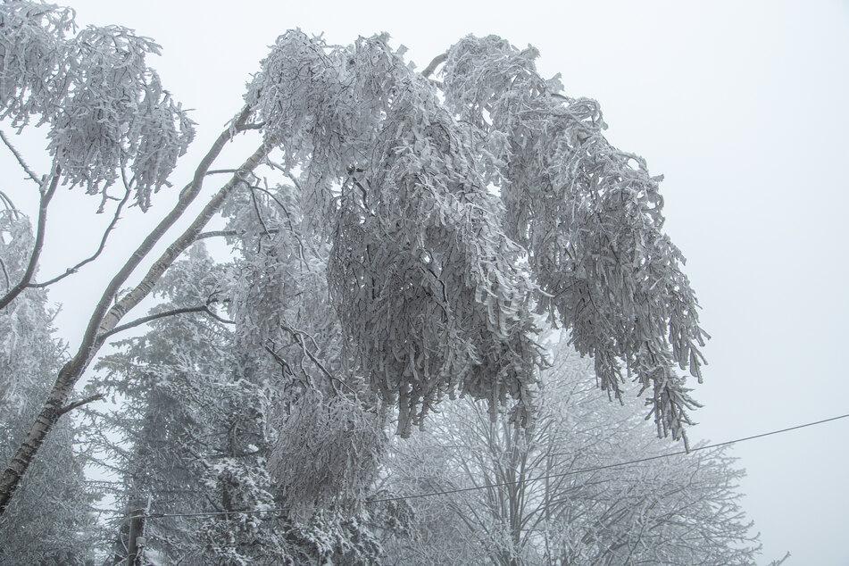 Spektakulär und schön anzusehen, aber auch lebensgefährlich: Etliche Bäume im Osterzgebirge sind mit einer schweren Eisschicht bedeckt.