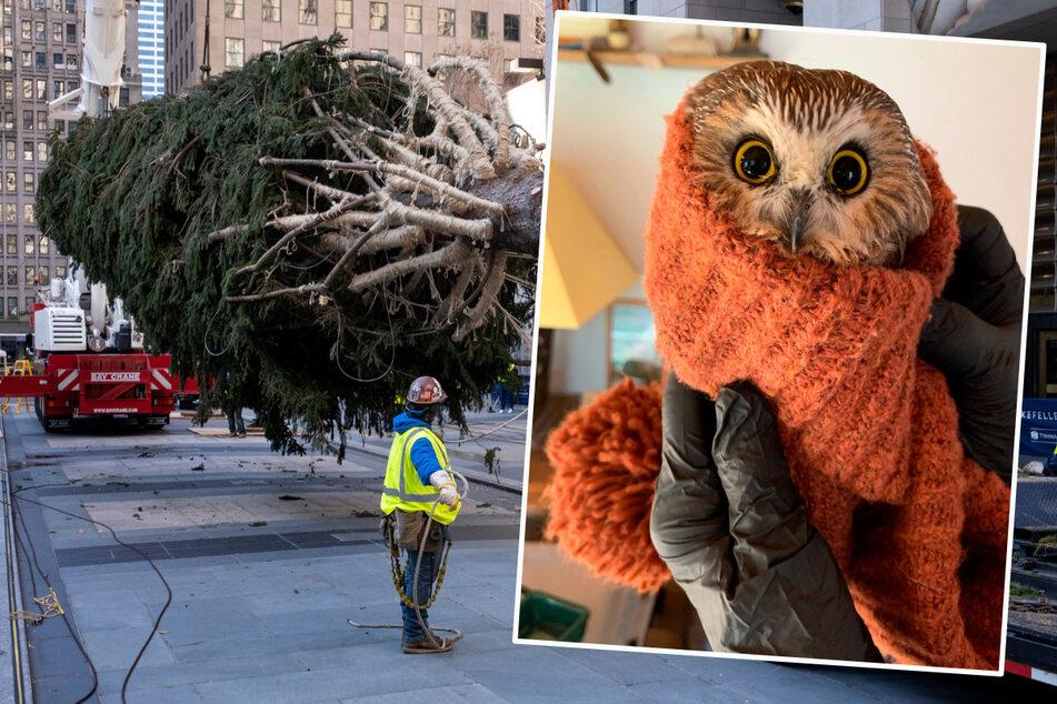 Stadt lässt Fichte für Weihnachten fällen, doch im Baum sitzt eine kleine Eule