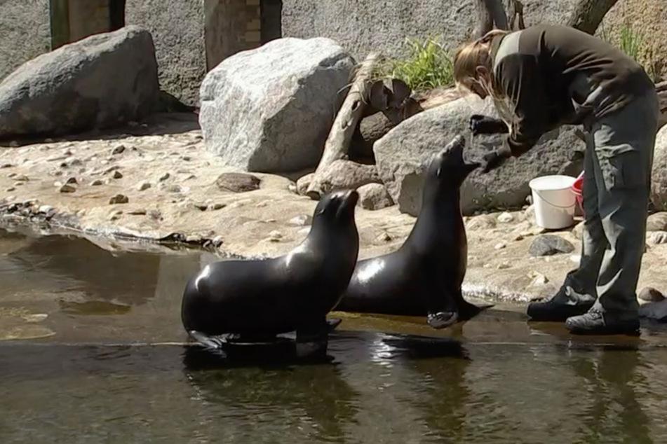 """Und jetzt schön weit den Mund auf: Die Seehunde mussten bei """"Elefant, Tiger & Co."""" zum Abstrich."""