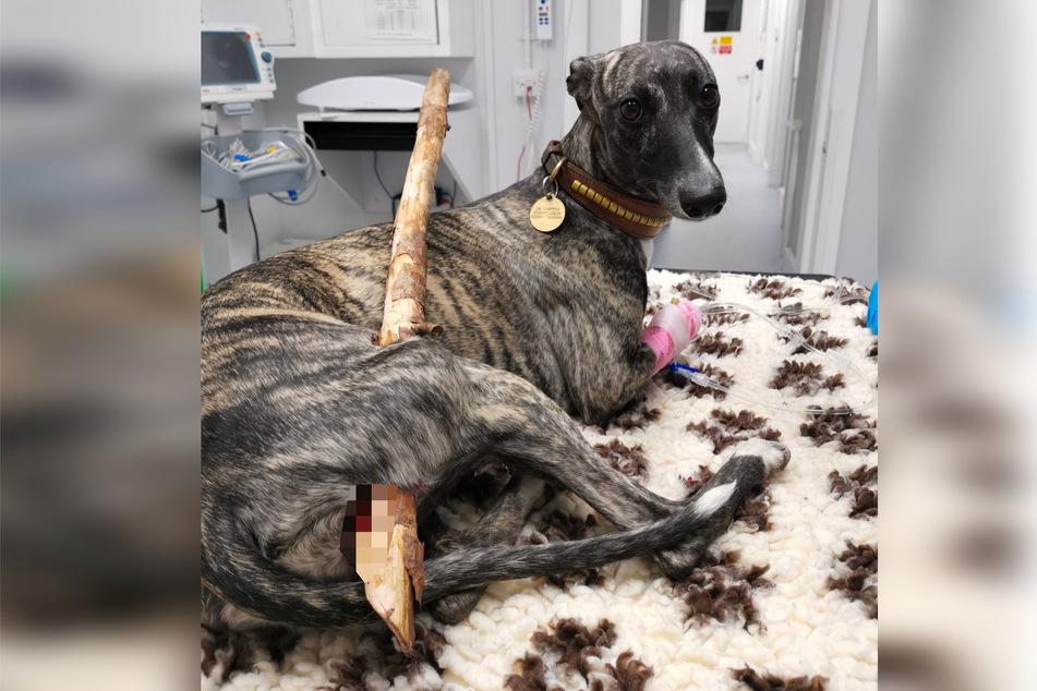 Die arme Roxy hatte sich beim Toben im Wald einen Ast in den Hinterschenkel gespießt.