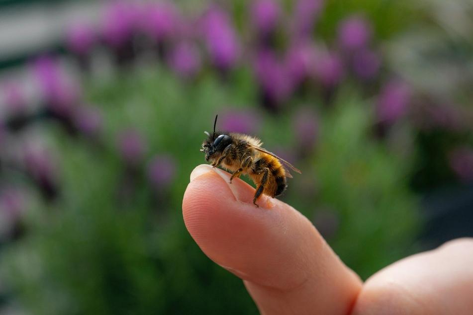 Bienen sind sehr friedlich - wenn sie sich nicht gerade bedroht fühlen