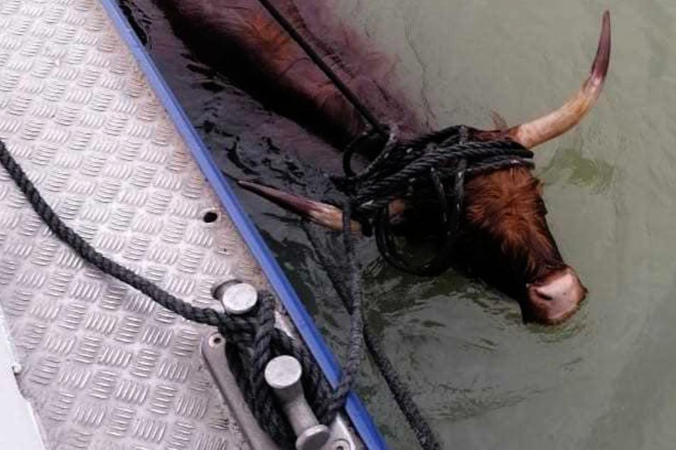 Bulle in Seenot: Rind geht im Dortmund-Ems-Kanal schwimmen und löst Rettungsaktion aus