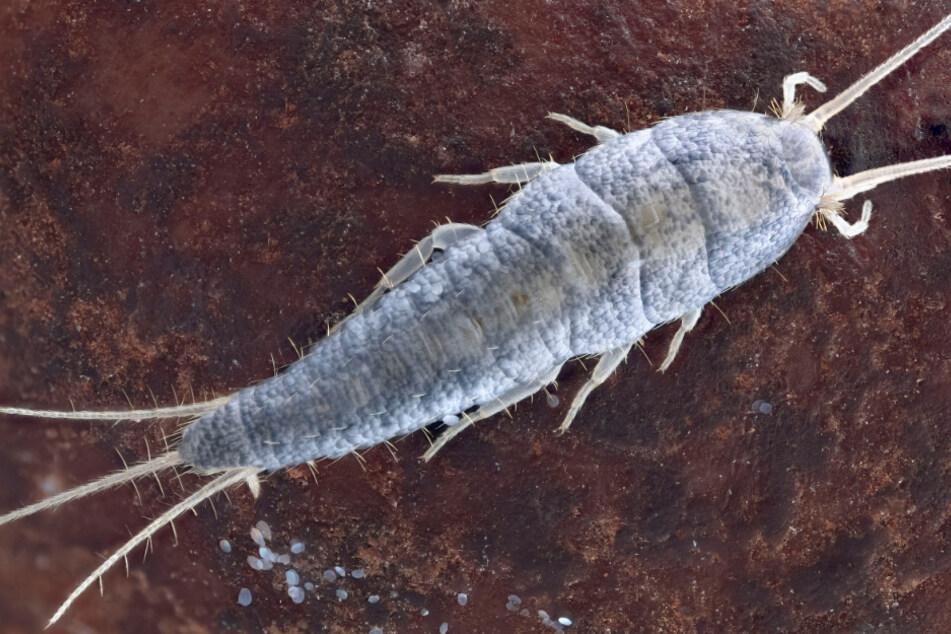 Silberfische werden innerhalb eines Jahres erwachsene Insekten.