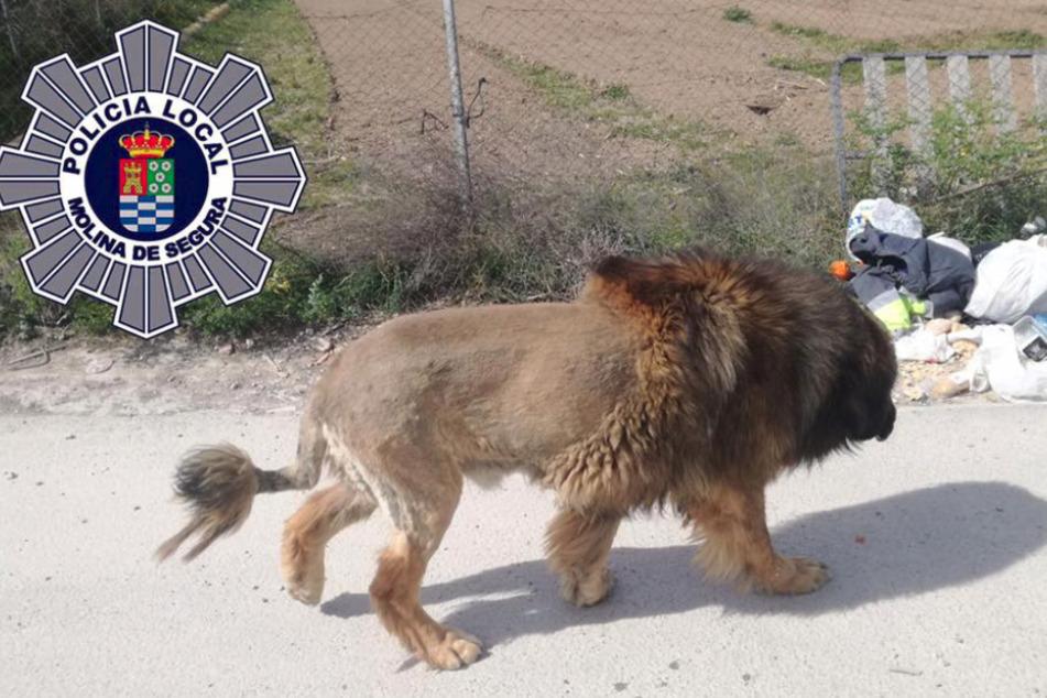 Ein Hund wie ein Löwe: Warum er so rasiert wurde, ist nicht klar.