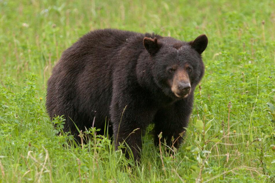 Mit ihren großen Pranken, scharfen Krallen und einem starken Biss können Bären Menschen schwer verletzen und schlimmstenfalls sogar umbringen. (Symbolbild)