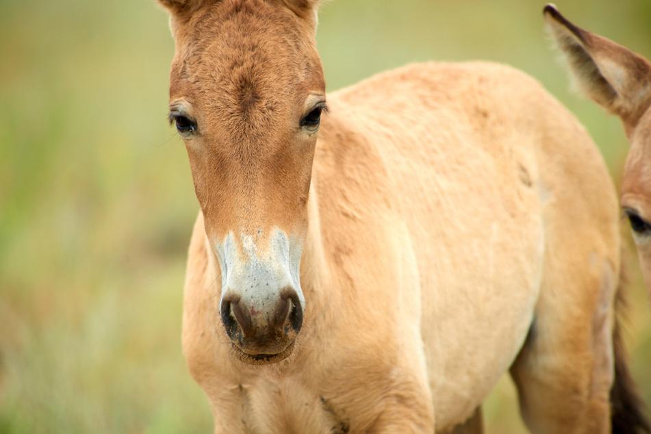 Bei Przewalski-Pferden entdeckten Wissenschaftler 2010 zuerst das Abtreibungs-Phänomen
