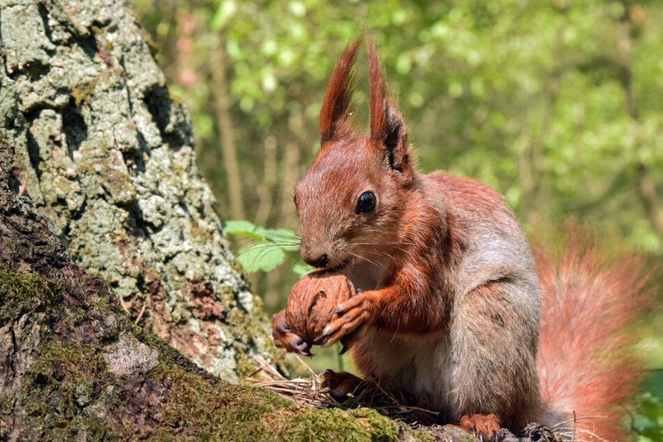 Den Eichhörnchen in Baden-Württemberg geht es momentan richtig gut.