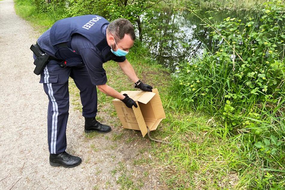 Mittels Karton wurde das Reptil an einen Fluss gebracht.