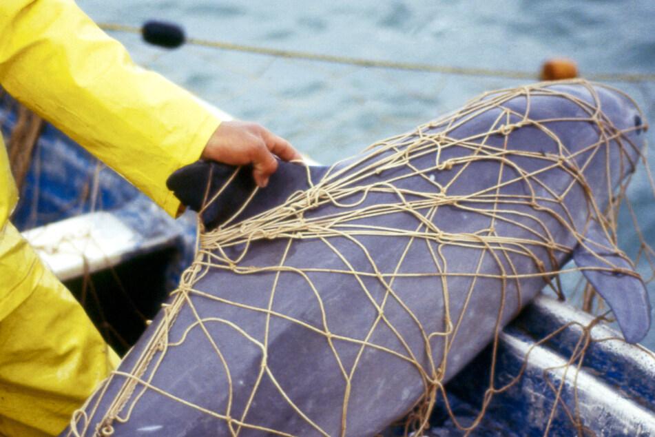 """Sterben die Kalifornischen Schweinswale wegen erbitterter Jagd auf das """"Kokain des Meeres"""" aus?"""