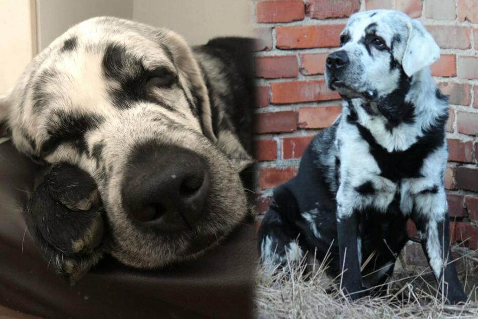 """""""Blaze"""" ist durch eine seltene Erkrankung anders als jeder andere Hund"""