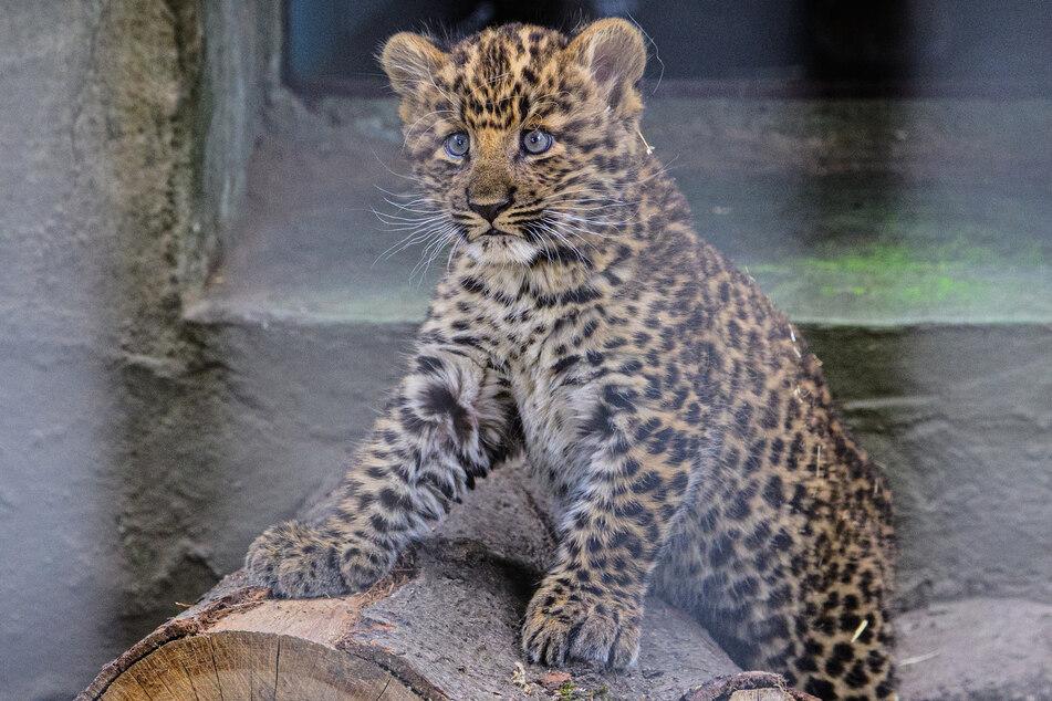 Vielen Tieren wie zum Beispiel diesem jungen Leoparden aus dem Zoo Hoyerswerda käme das Böllerverbot an Silvester sicherlich sehr gelegen.