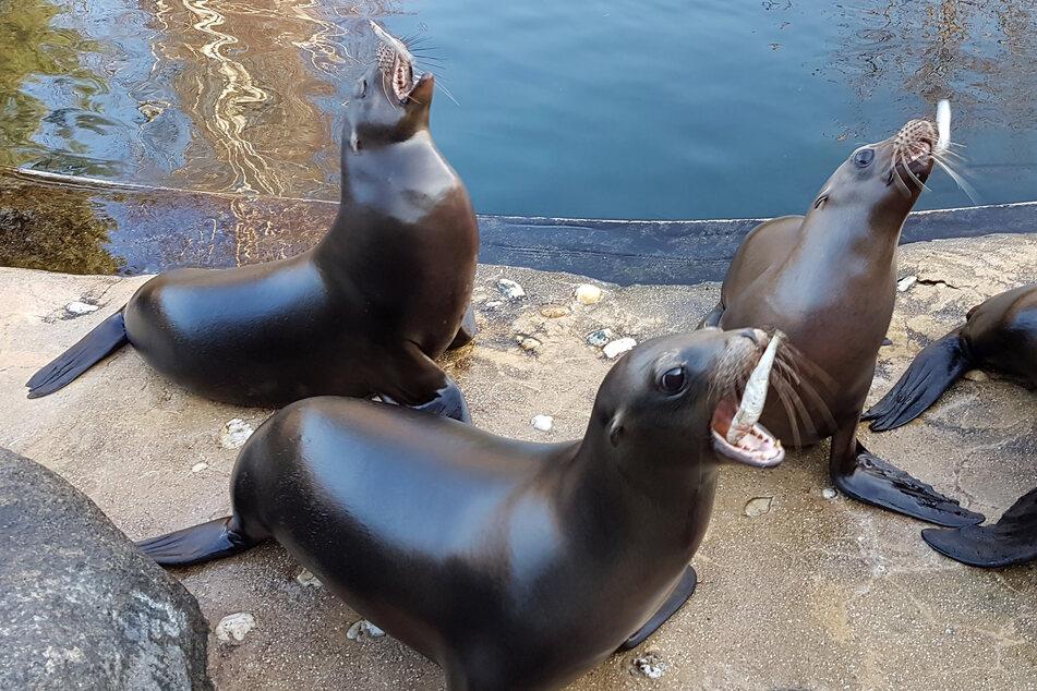 Trotz der Coronakrise ist den Leipziger Seelöwen der Hunger nicht vergangen.