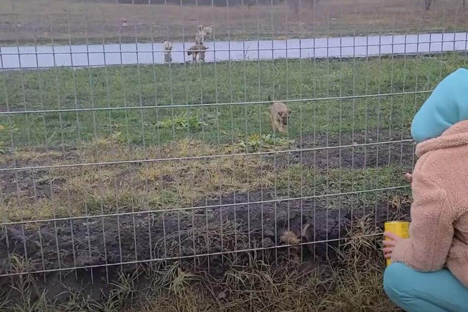 Frau versucht Hunde hinter Zaun zu retten: Doch sie ahnt nicht, was da auf sie zukommt