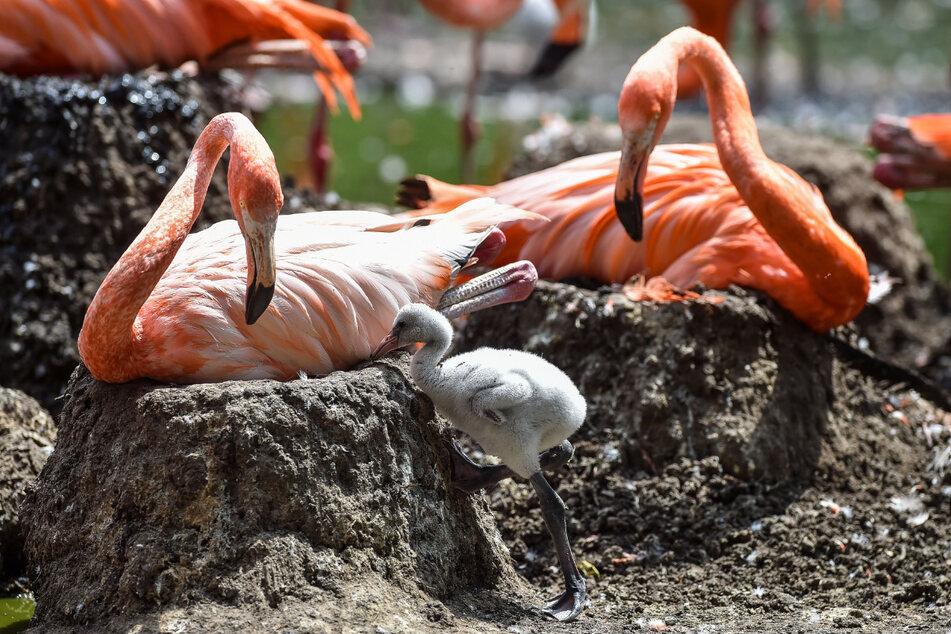 Gott, ist der Flauschknäuel süß! Flamingo-Küken bei seinen tapsigen Gehversuchen - sorgsam von Mama und Papa beäugt.