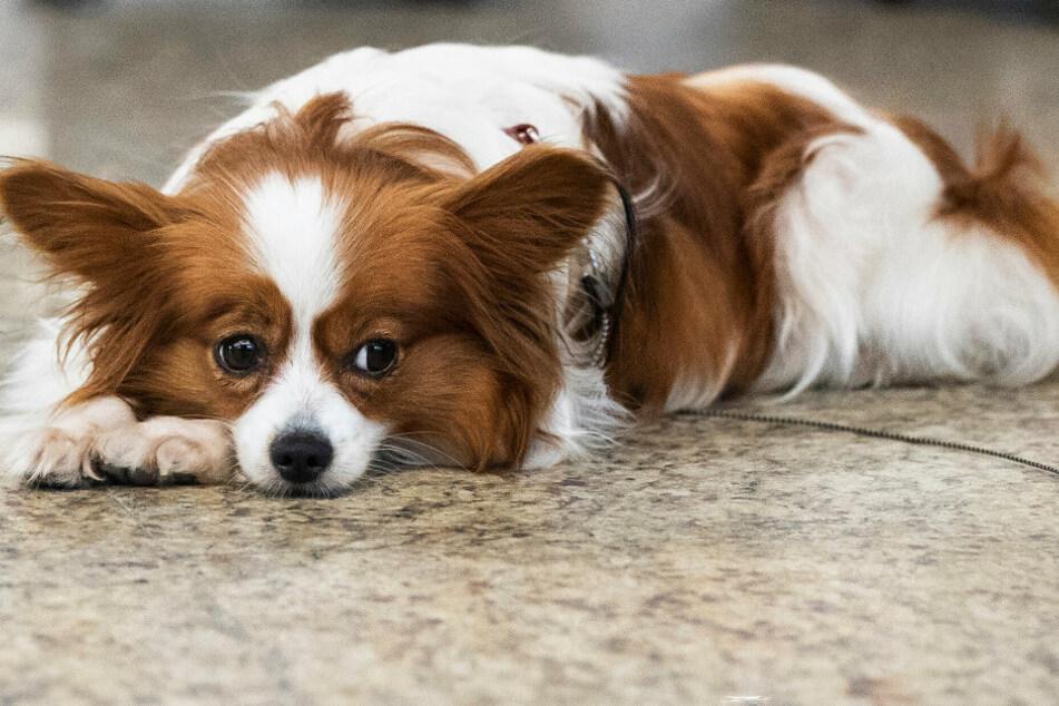 Ein Hund liegt auf dem Boden (Symbolbild).