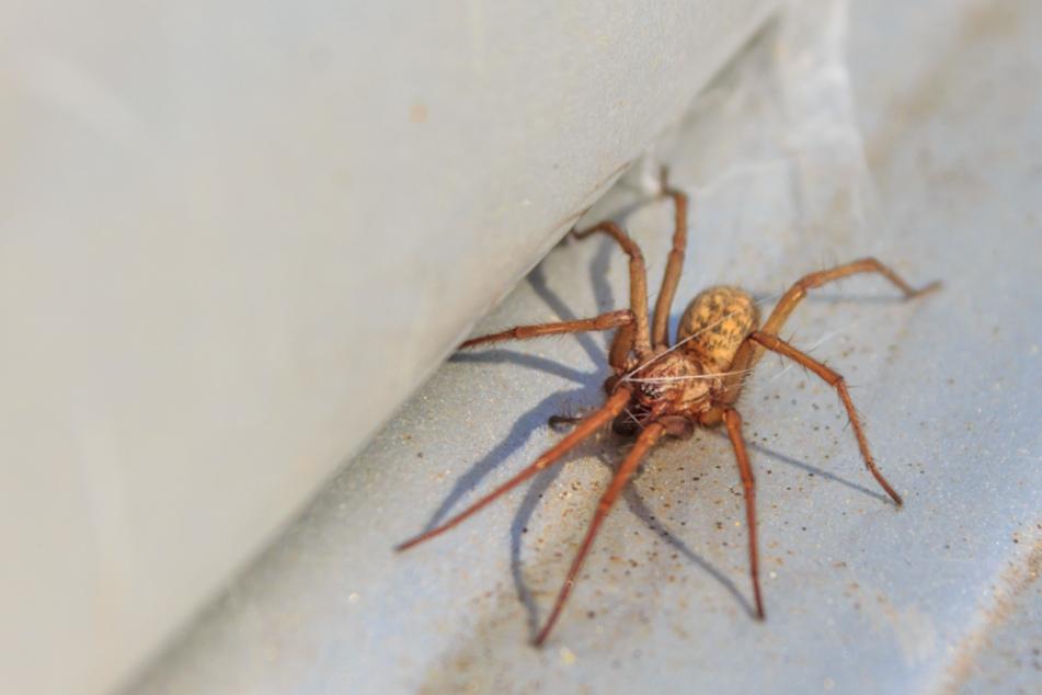 Handtellergroße Spinnen krabbeln durch Wohnungen, weil sie gierig nach Sex sind