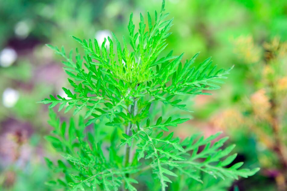 Eine junge Ambrosia-Pflanze wächst auf einem Feld. Oft wird das Kraut über Erdbaufirmen verbreitet.