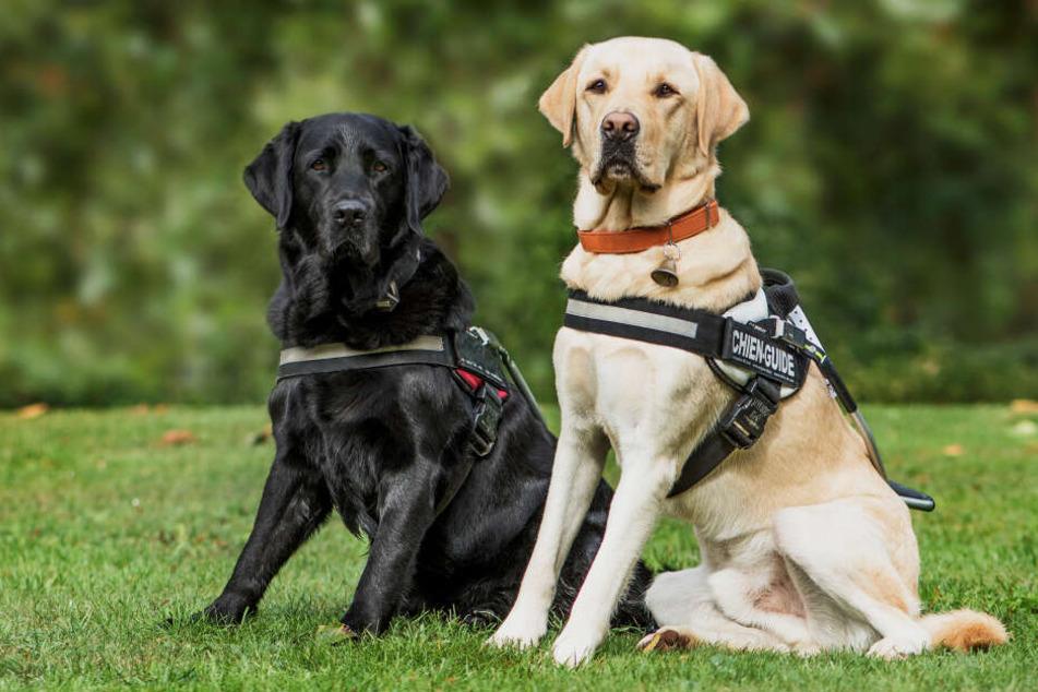 Ein Blindenhund (r.) kümmert sich um einen blinden Hund (Symbolbild).