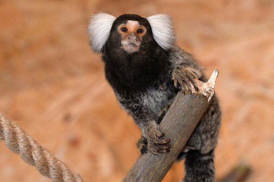 Heimisch sind die Primaten im brasilianischen Regenwald, zuhause jetzt im Wildpark Osterzgebirge.