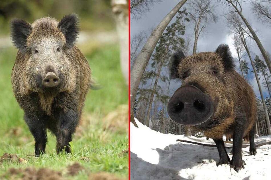 Wildschweine machen aus den liebevoll gestalteten Anlagen immer wieder einen umgepflügten Acker.