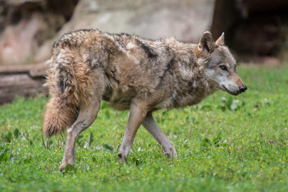 War der Wolf auch mehrmals im Odenwald gesichtet worden? Das soll nun geklärt werden. (Symbolbild)