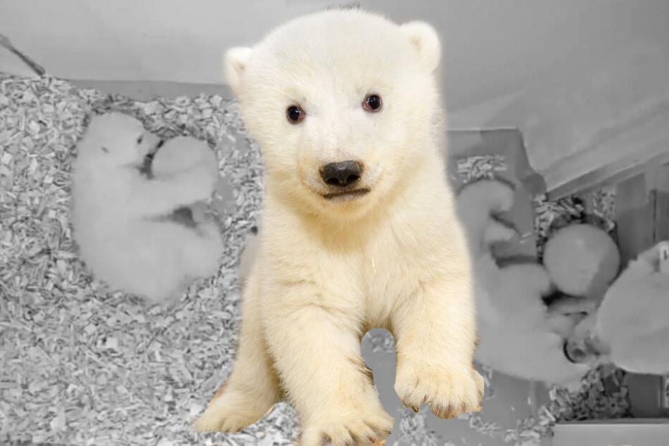 Achtung, Jogi, hier komme ich: Kugeliges Eisbär-Baby liebt seinen Fußball