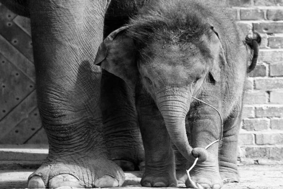 Elefantenkalb Ben Long aus dem Leipziger Zoo ist tot