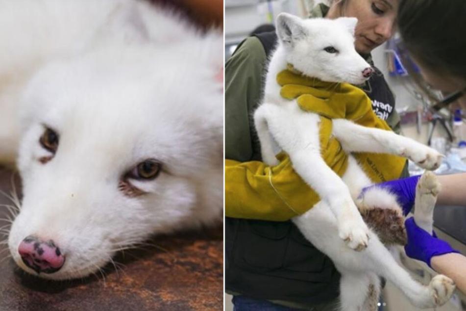 Dem kleinen Fuchs Maciek musste eine Pfote amputiert werden.