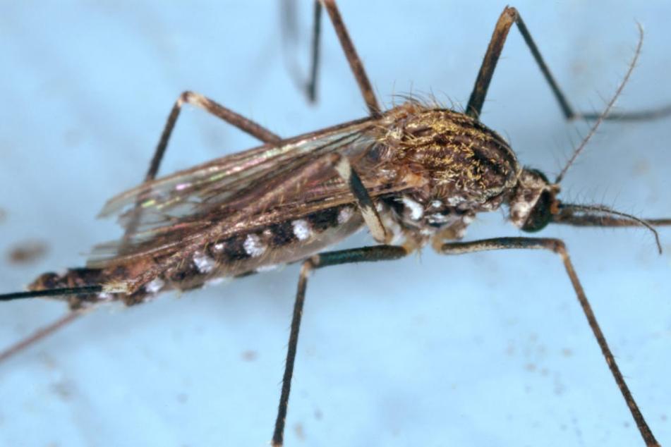 Die asiatische Buschmücke hat bereits neun Bundesländern besiedelt.