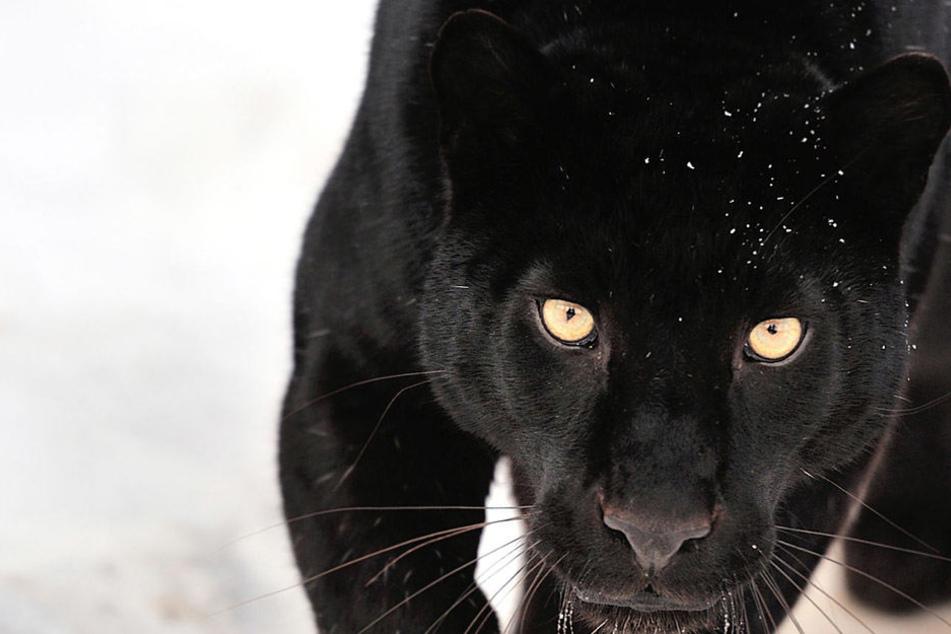 In einem privaten Zoo in Russland wurde ein Mann vom Panther tot gebissen.