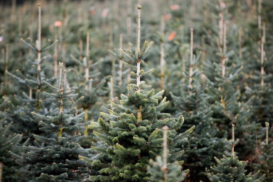 Hunderten Christbäumen haben Unbekannte die Spitze abgeschnitten. (Symbolbild)