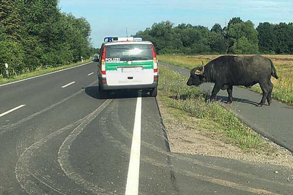 Büffel neben Polizei: Ein außergewöhnlicher Einsatz für die Beamten.