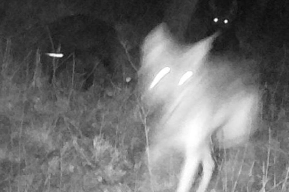 Letzter Wolf-Hund-Mischling abgeschossen, doch was passiert mit der Mutter?