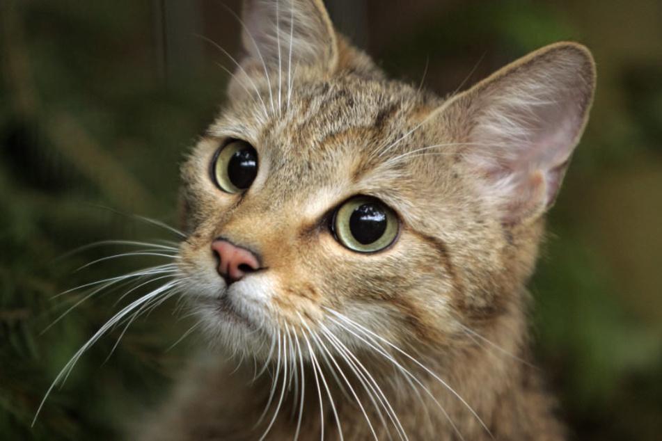 Eine der beiden Katzen musste in einem Tierheim behandelt werden. (Symbolbild)