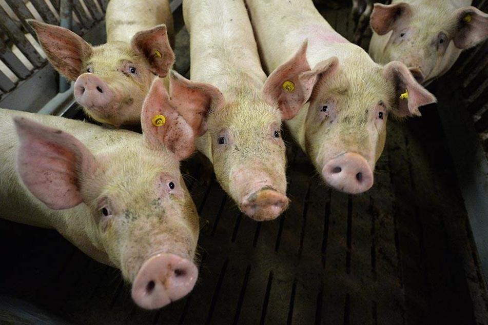 Bislang wütete die Afrikanische Schweinepest in den östlichen EU-Staaten, nun ist sie 60 Kilometer vor Deutschlands aufgetaucht - bei Wildschweinen in Belgien.