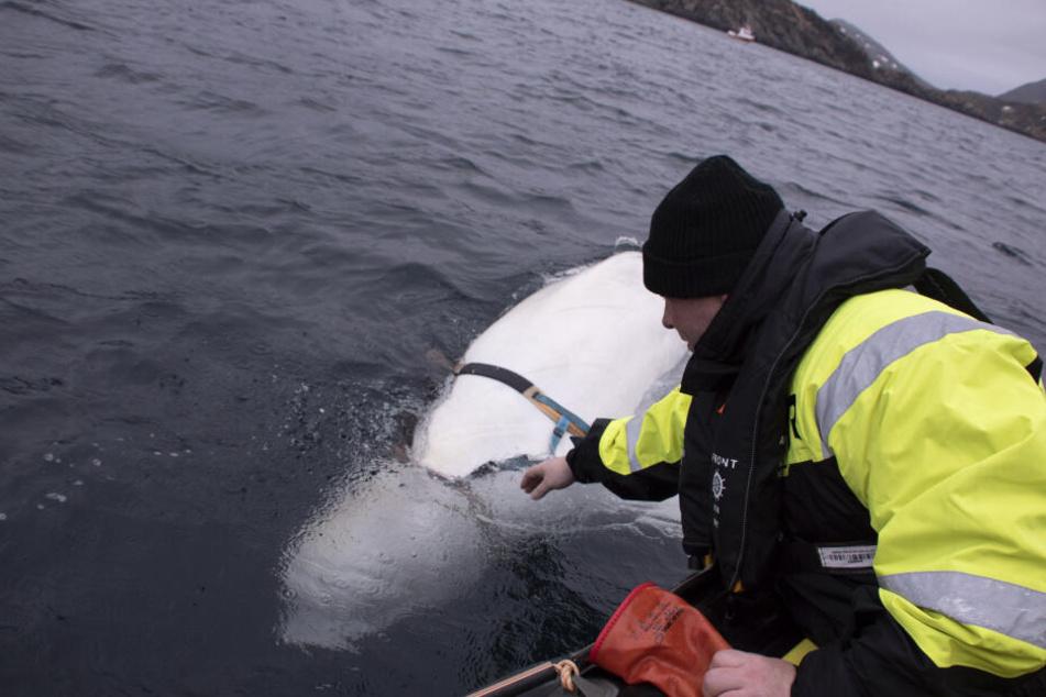Der Meeresbiologe Jorgen Jee Wiig befreit den Wal von seinem Geschirr.