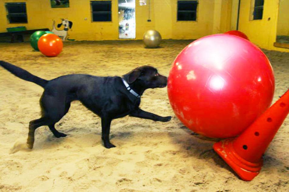 Labradorhündin Honey treibt regelmäßig die Gymnastikbälle über den Sand.