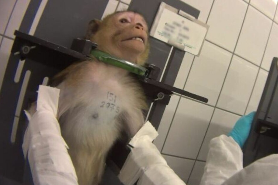 Mit schmerzverzerrtem Gesicht wird ein Affe für einen Versuch fixiert.