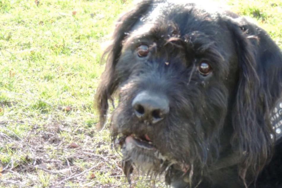 Hund Niki am Geburtstag weggegeben, seitdem heult er jede Nacht