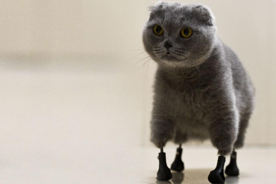 Tatzen im Winter verloren: Katze Dymka kann dank 3D-Drucker wieder laufen