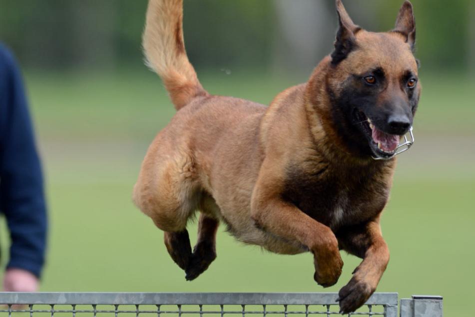 Ein Diensthund der Polizei beim Training. (Symbolbild)