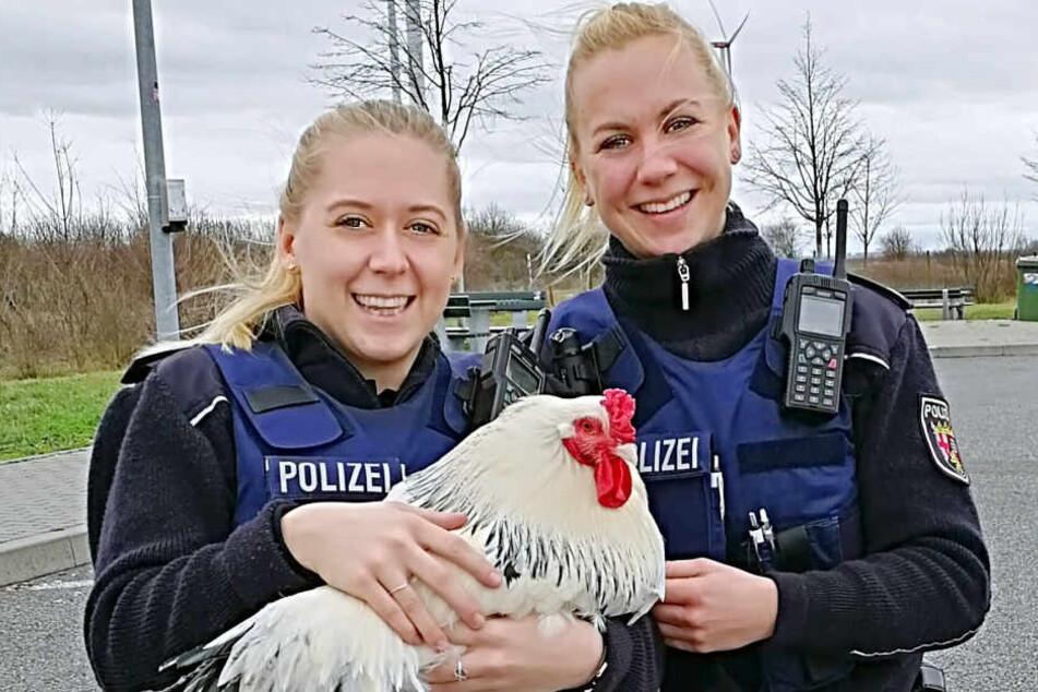 """Der Gockel komplettiert die glückliche """"Hühnerstreife""""."""