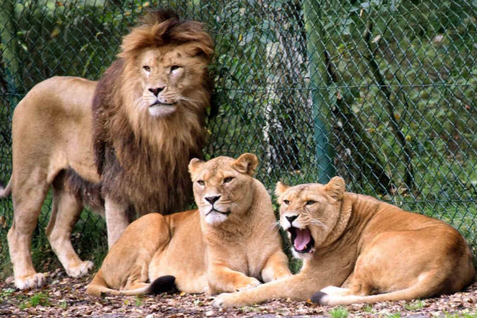 Eine Löwengruppe aufgenommen in einem Gehege im Serengeti-Park Hodenhagen. (Archivbild)