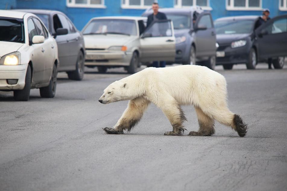 Der Eisbär zeigte sich von Autos und Menschen völlig unbeeindruckt...