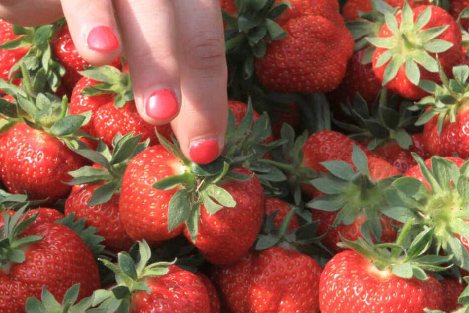 """Süße Früchtchen: Erdbeeren sind das Markenzeichen des """"Karls""""-Unternehmens."""