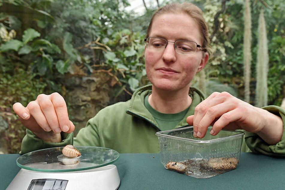 Tierpflegerin Anne Auerbach (35) beim Wiegen der Larven.